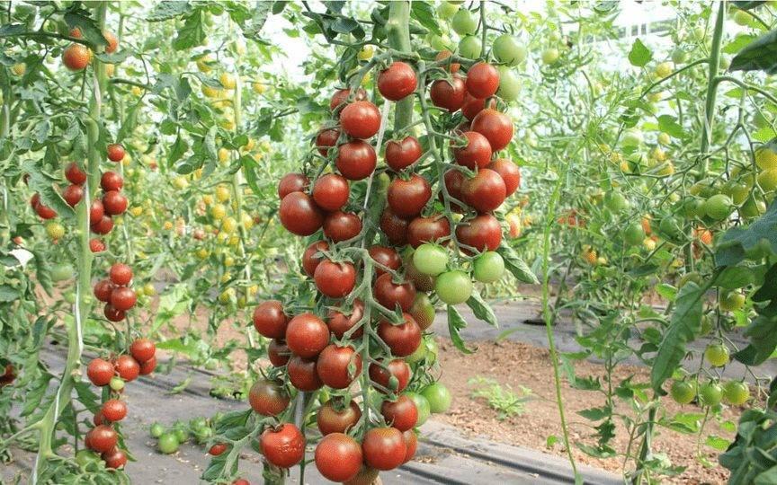 Мелкоплодный, но урожайный – сорт томата красная гроздь: фото и описание сорта