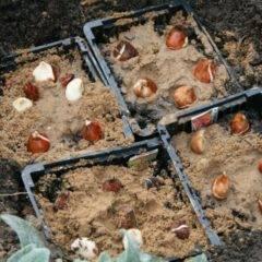 Посадка тюльпанов осенью в самые подходящие сроки с учетом всех нюансов