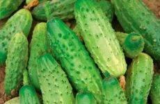 Огурец «бьерн f1»: описание гибридного сорта, фото и отзывы