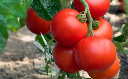 Томаты сорта «рапунцель» — описание, фото, характеристики, выращивание помидоров