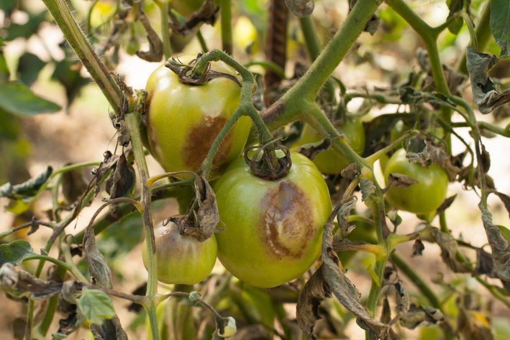 Альтернариоз томатов: фото, описание и лечение