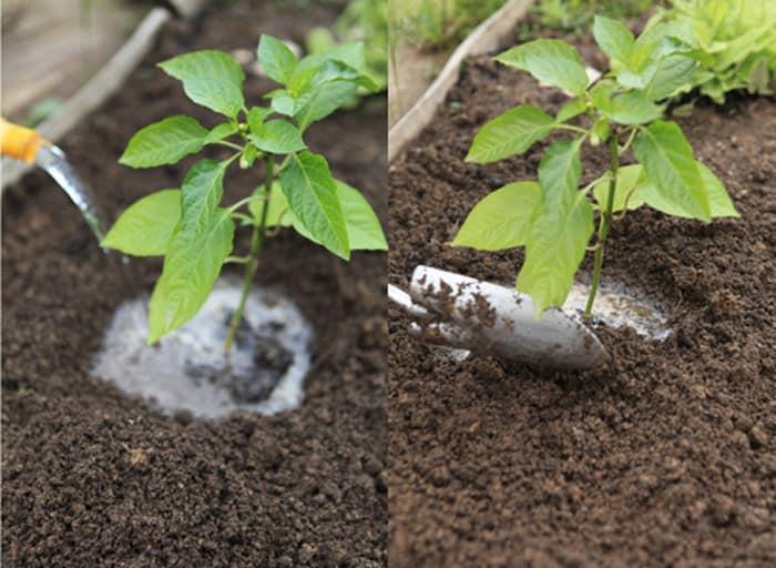 Как применять кальциевую, калийную и аммиачную селитру для подкормки перца
