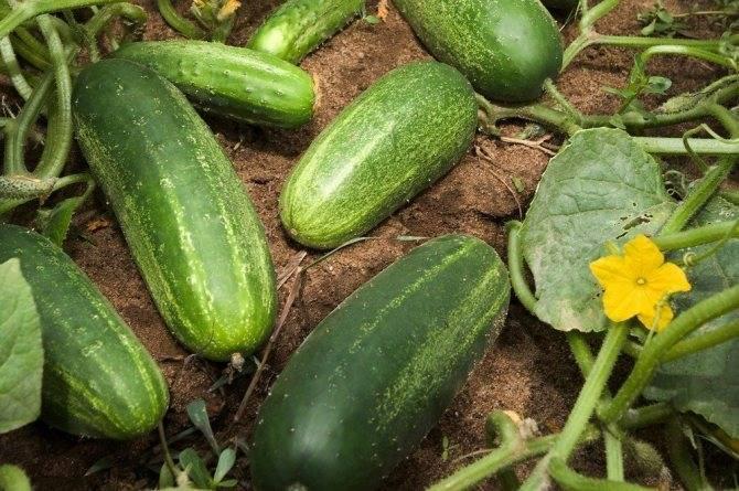 Отзывы огородников об огурцах сорта нежинский и особенностях их выращивания