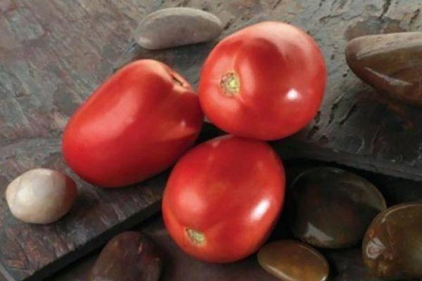 Томат вовчик: описание и характеристика сорта, выращивание и урожайность с фото
