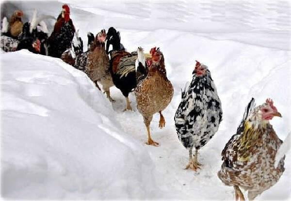 Правила ухода и содержания кур зимой для начинающих в домашних условиях