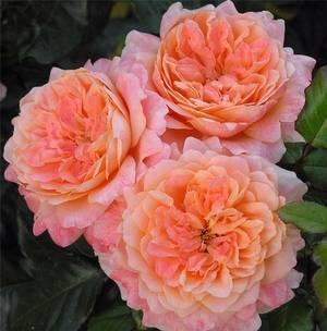 Полиантовые сёстры семейства розы и их сорта