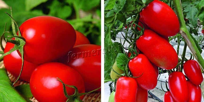 Томат мажор: описание и характеристика сорта, урожайность с фото