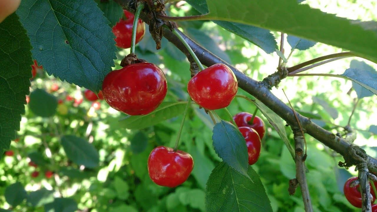 Когда созревают первые ягоды черешни