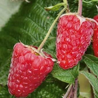 Описание сортов красной малины, лучшие крупноплодные и ремонтантные виды