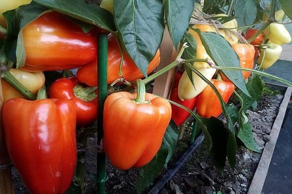 Описание и секреты успешного выращивания перца рамиро