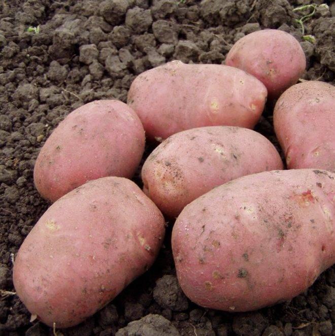 классические фото битвы картофеля невский контракт закончился
