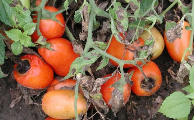 Чернеют помидоры на кусте, что делать
