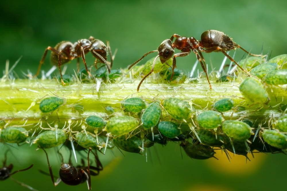 Как бороться с тлей на малине во время плодоношения, чем обработать