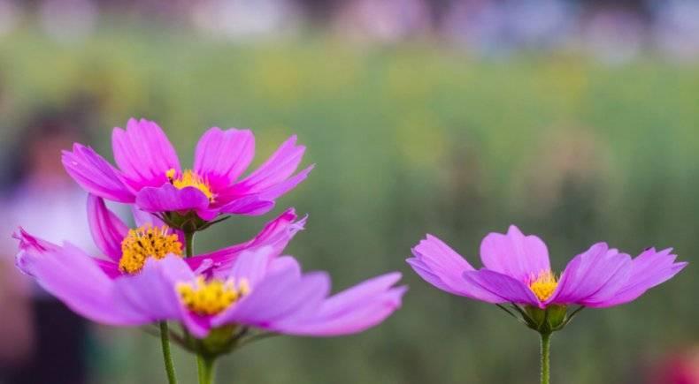 Выращивание космеи из семян: просто, удобно и красиво