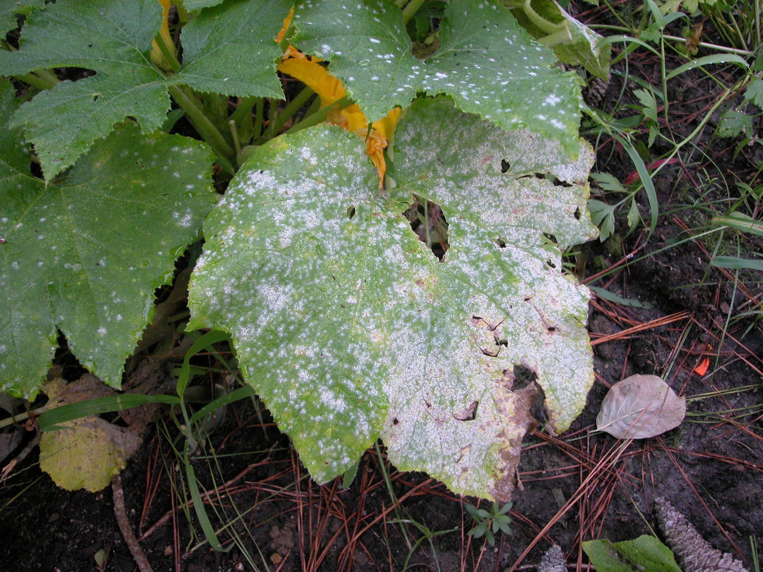 Белый налет на мяте: вредители и борьба с ними с фото