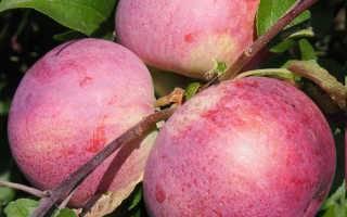 Скороплодная яблоня коваленковское
