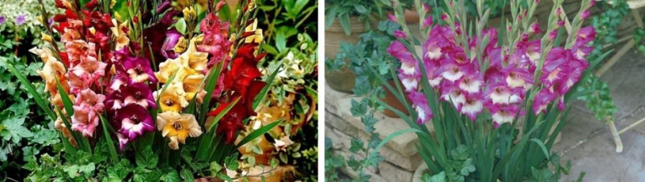 Почему гладиолусы меняют цвет