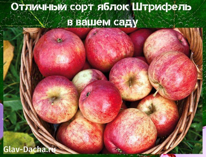 Как вырастить яблоню беркутовское: описание сорта