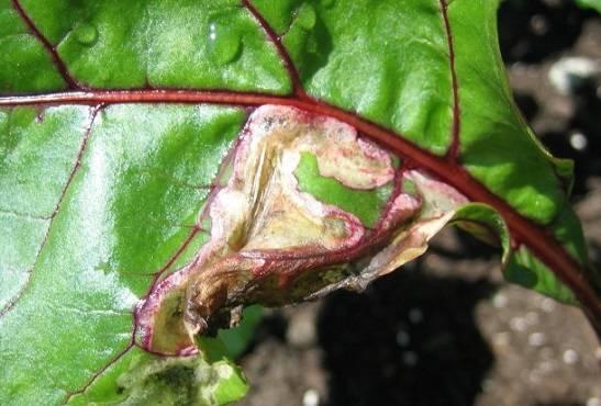 Болезни и вредители свёклы