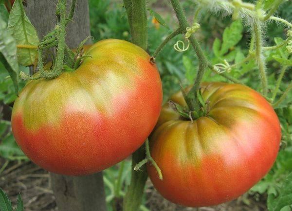 Крайне необычный сорт от сибирский селекционеров — томат «японский краб», который никого не оставит равнодушными