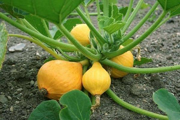 Что делать, если у баклажан желтеют листья и плоды. от чего это происходит