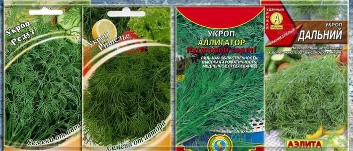 Укроп: грамотная посадка любимой народной зелени
