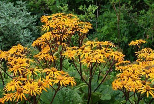 Уход осенью и подготовка к зиме растения бузульник, обрезка и пересадка