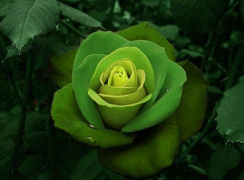 Роза госпел: описание сорта и характеристики, правила посадки и выращивания