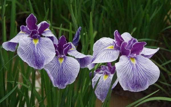 Агротехника посадки и дальнейшего ухода за цветами ирисами