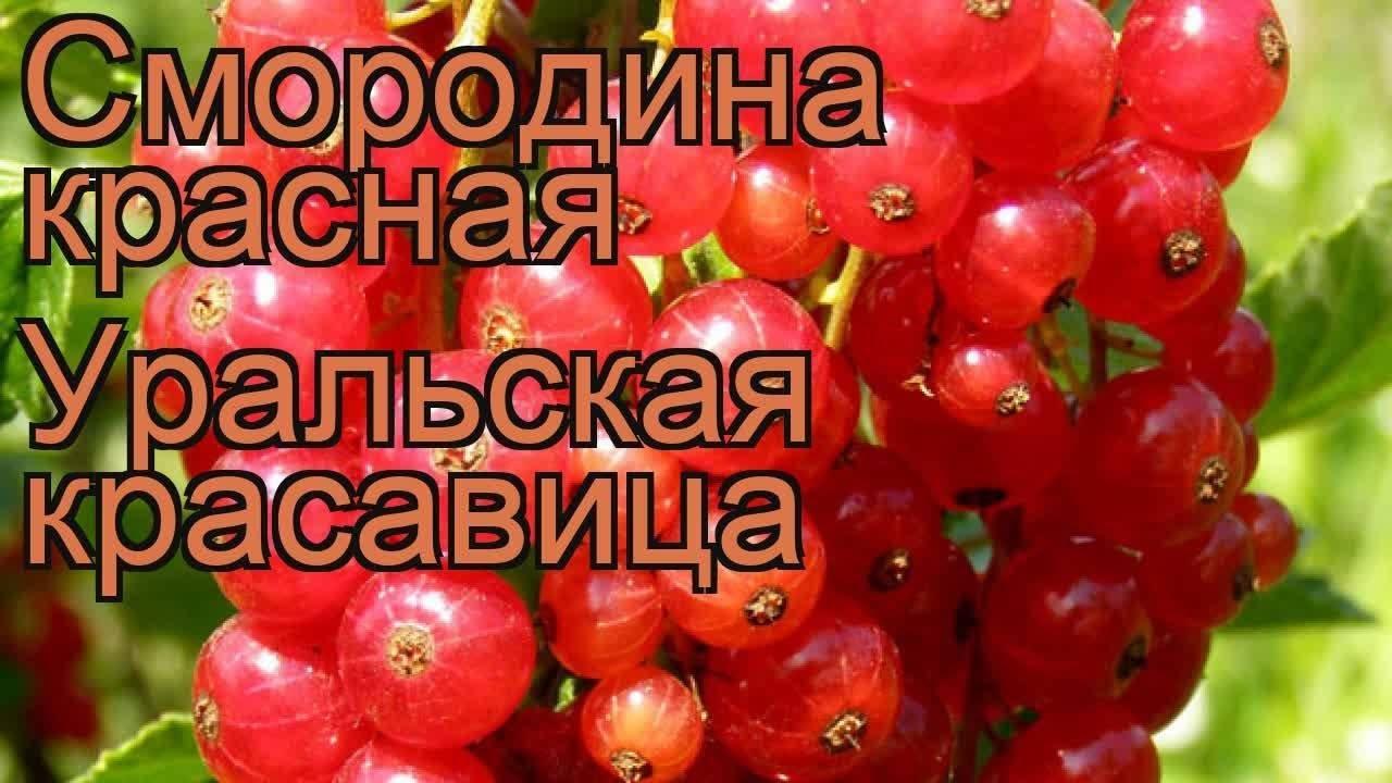 Смородина красная уральская красавица: описание сорта, посадка и уход с фото