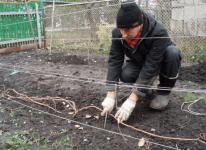 Как правильно осенью укрыть виноград на зиму