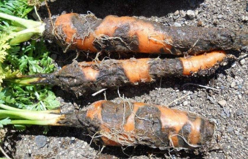 Чем обработать морковь от проволочника
