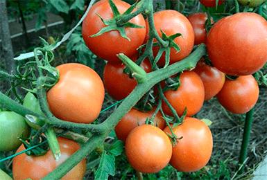 Характеристика и описание сорта томата дубрава: выращивание и уход
