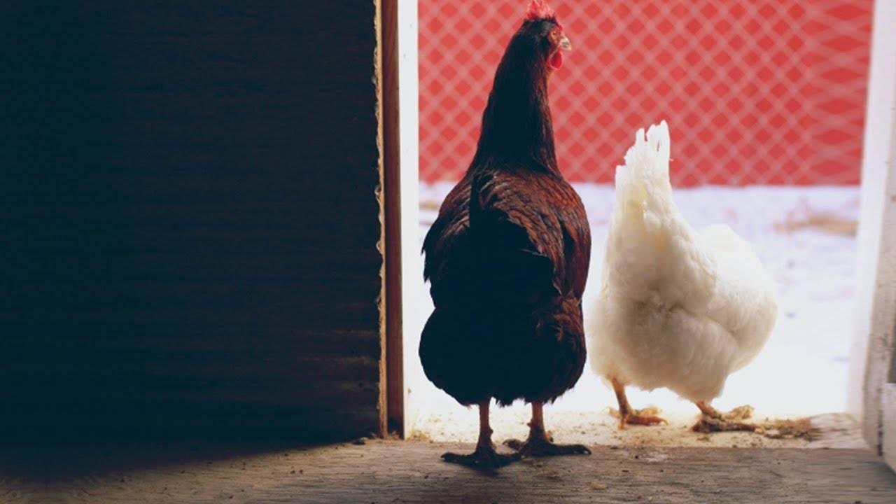 Глисты у кур: симптомы и лечение в домашних условиях, профилактика