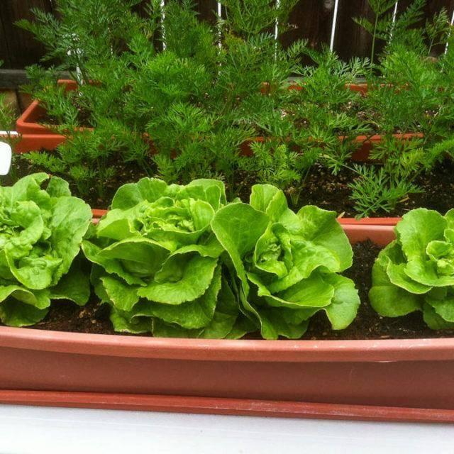 Основы выращивания зелени на гидропонике в домашних условиях