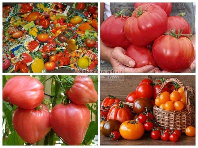 Характеристики томата джина и особенности сорта