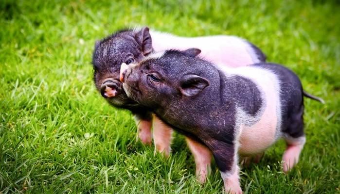 Температура свиньи: норма и способы измерения температуры