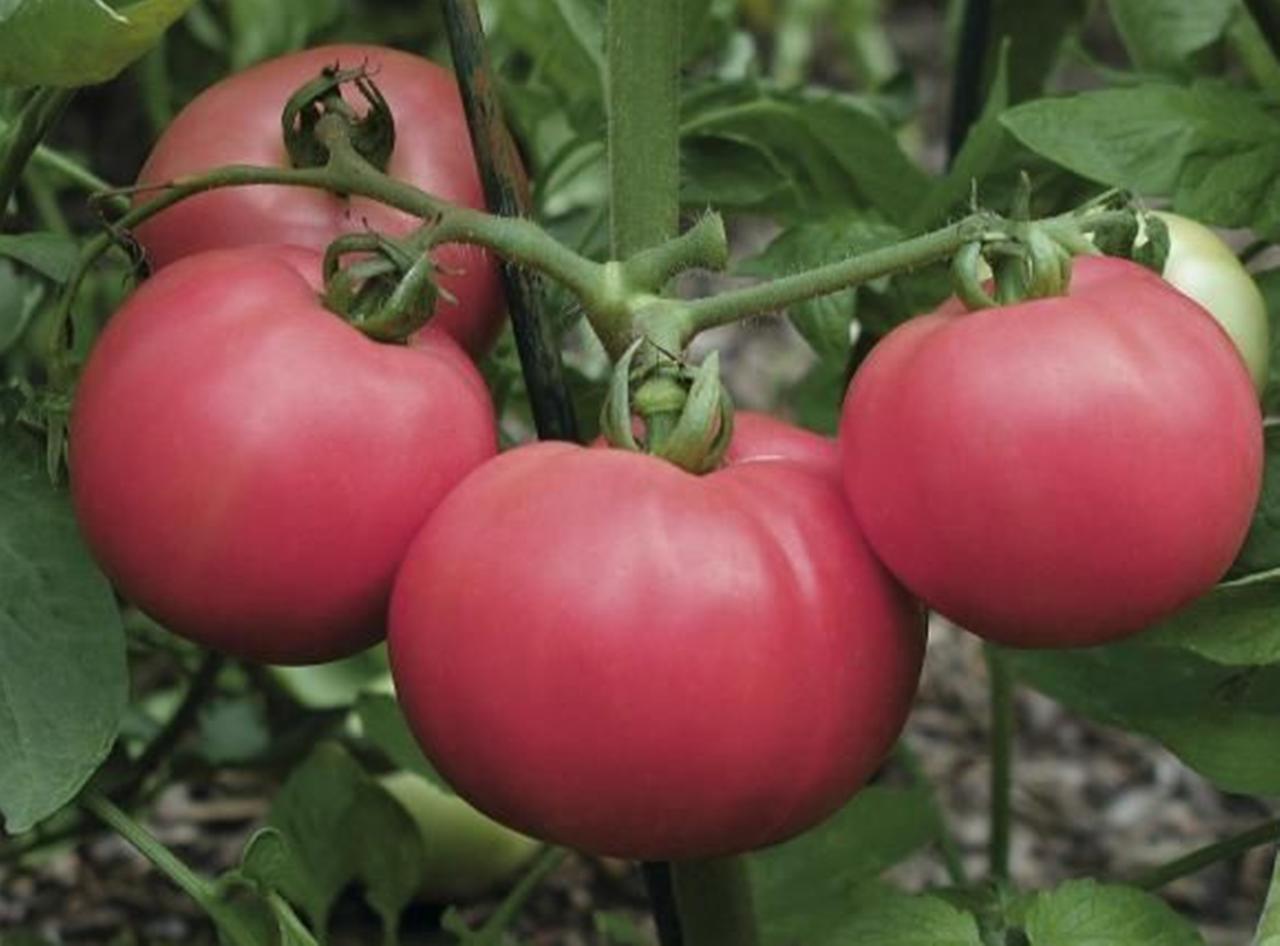 Томат торбей — описание сорта, отзывы, урожайность