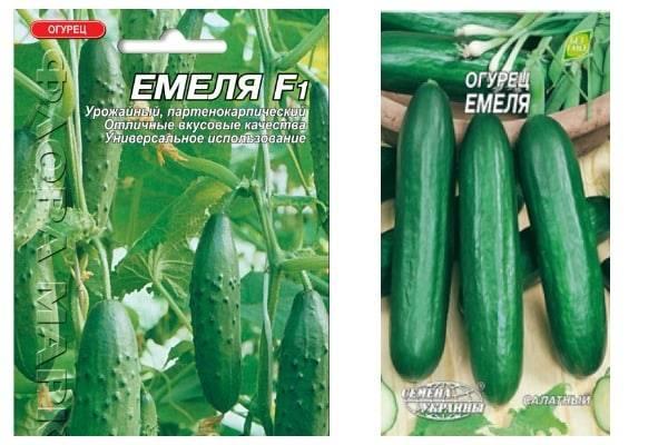 Огурцы «емеля f1»: описание сорта, уход и урожайность