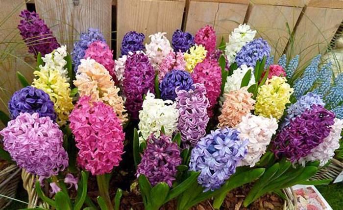 Гиацинты— выращивание и уход