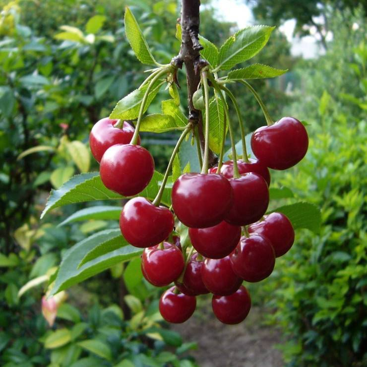 Вишня загорьевская — описание сорта, фото, отзывы садоводов