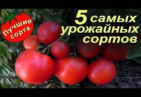 Томат слот f1: выращивание и уход
