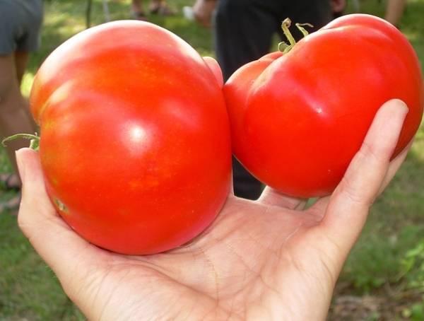 Томат космонавт волков: описание и характеристика сорта, фото, особенности выращивания помидоров, отзывы тех, кто сажал