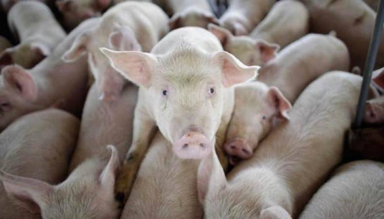 Цистицеркоз свиней: диагноз, лечение, профилактика, медико-санитарные мероприятия, ветеринарная служба владимирской области