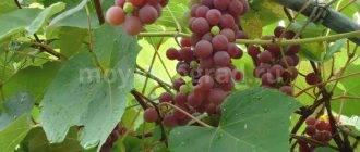 Вино из винограда Тайфи: лучший рецепт приготовления в домашних условиях