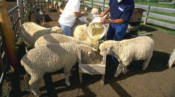 Как в домашних условиях выпоить ягненка без овцы, схема кормления