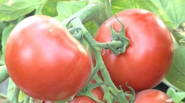 Томат грибное лукошко: характеристика и описание сорта, урожайность с фото