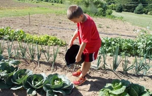 Посадка капусты в открытый грунт рассадой: правила посадки