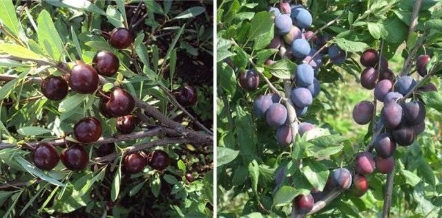 Сливово-вишневый гибрид майнер посадка и уход. как вырастить сливово-вишневый гибрид