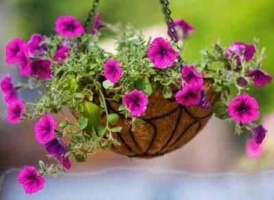Ампельная петуния — выращивание в кашпо и уход